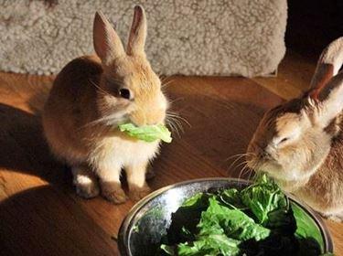 Denti coniglio