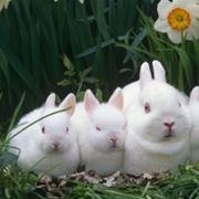 Gestazione conigli