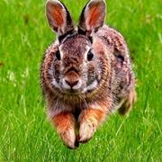Razze conigli