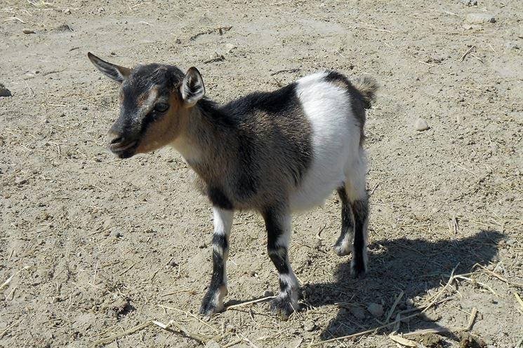 capra tibetana