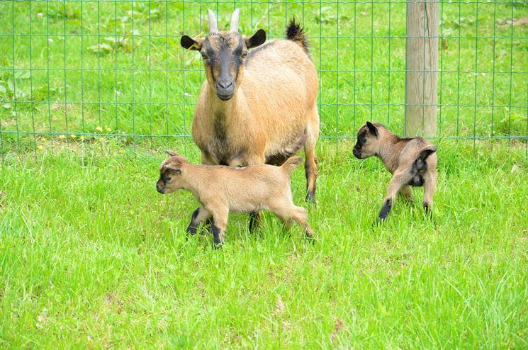 capra tibetana cuccioli