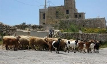 Capre maltesi