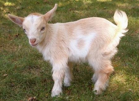 La capra pecore e capre caratteristiche della capra - Immagini da colorare capra ...