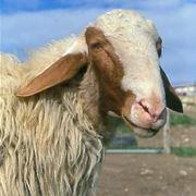 comisana sheep