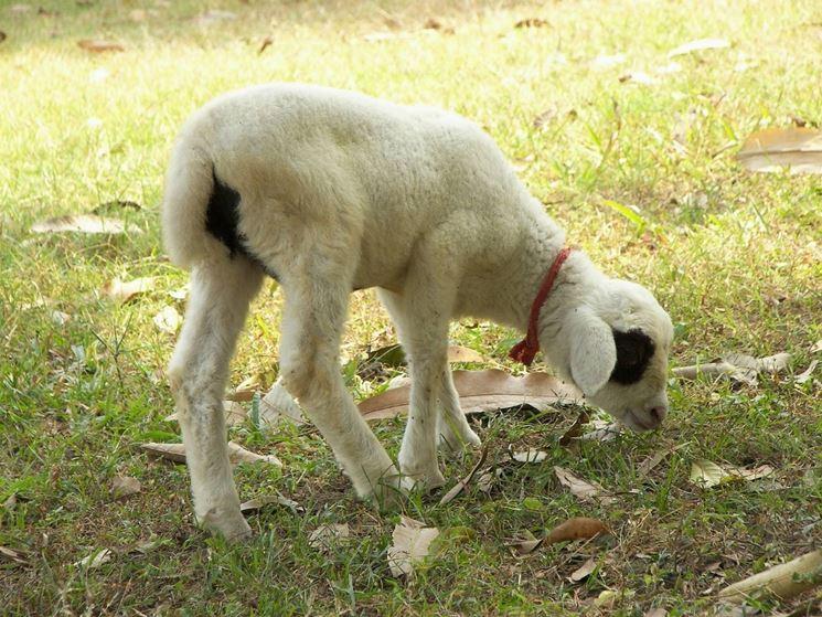 Pecore allevamento