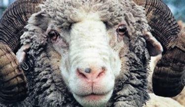 Pecore merinos
