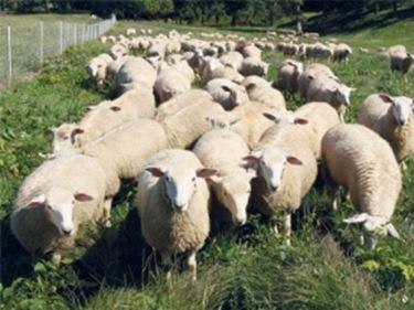 Pecore vendita