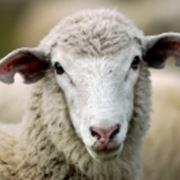 razze di pecore