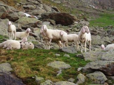 Razze pecore