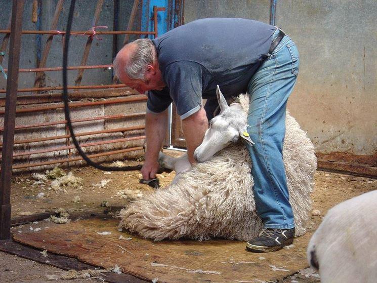 Tosatura pecora