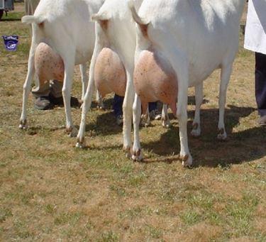 Vendita capre da latte
