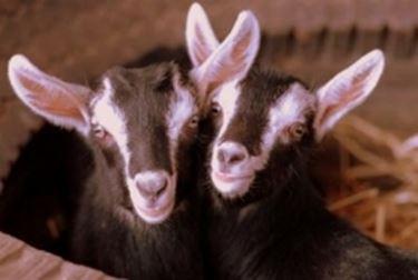 Vendita capre