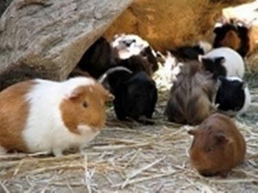 porcellini d'India