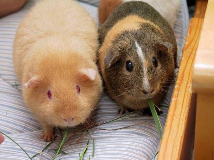 Due esemplari di maialini d'India