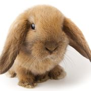 vita media coniglio nano