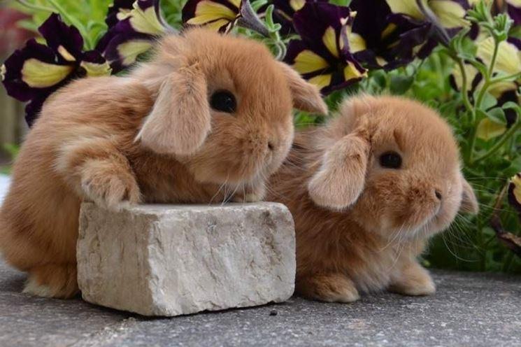 Tutta la dolcezza di due conigli nani ariete