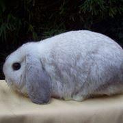 Coniglio nano ermellino