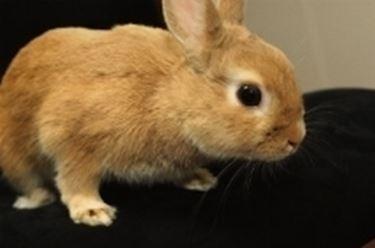 coniglio nano olandese