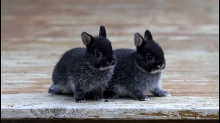 Piccoli conigli nani
