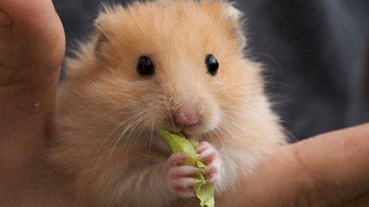 Criceto con la verdura