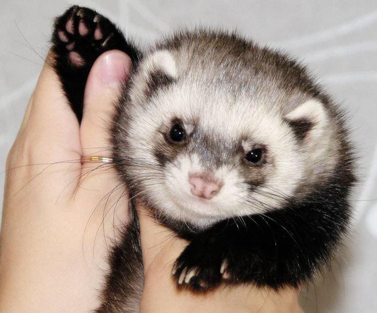 furetto panda