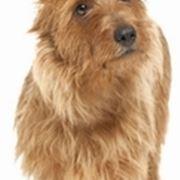 foto australian terrier