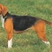 foto beagle harrier