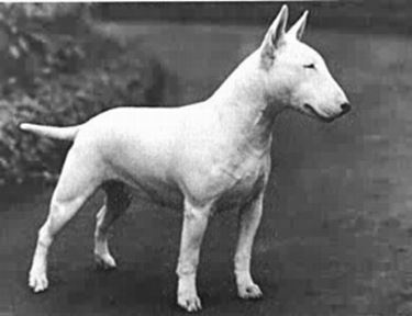 foto bull terrier