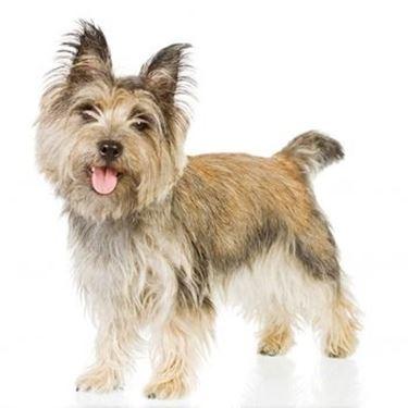 Foto cairn terrier