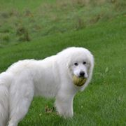 foto del cane dei pirenei