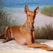 foto cane dei faraoni