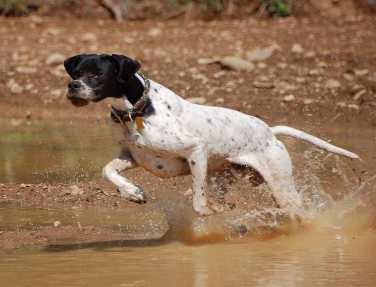 Cane da caccia in azione