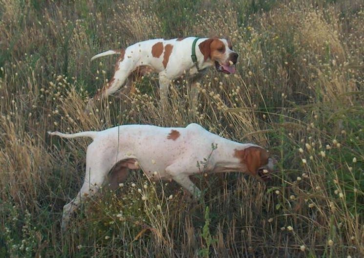 Cani da ferma che cacciano