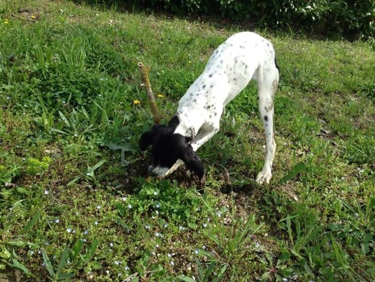 Un cane alla ricerca dei tartufi