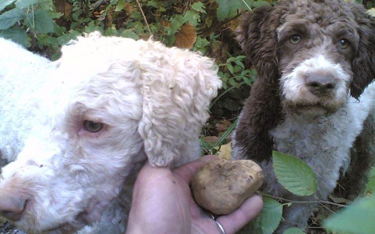 Cani addestrati alla ricerca del tartufo