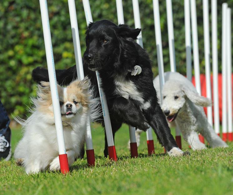 Slalom Agility Dog