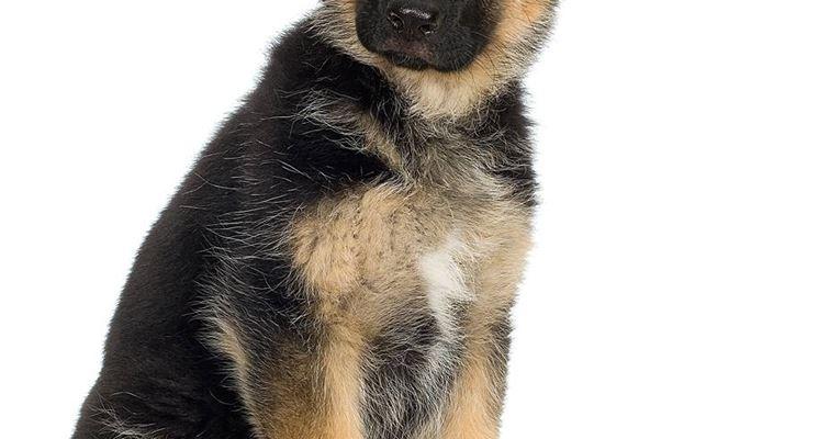 cuccioletto di pastore tedesco
