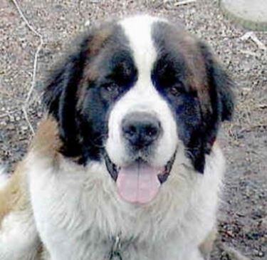 Allevamenti cane San Bernardo
