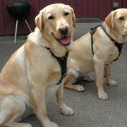 Allevamento cani Labrador