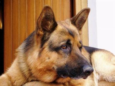 Allevamento cani pastore tedesco
