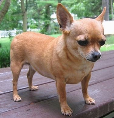 Allevamento cani taglia piccola