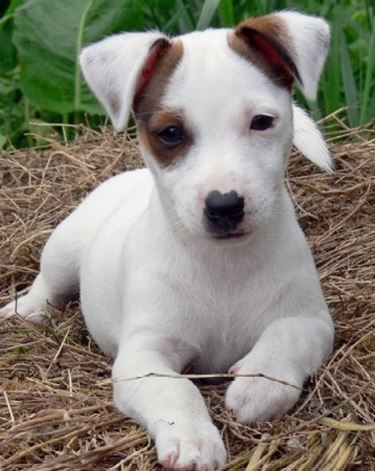 Allevatori Jack Russell - Allevamento cani