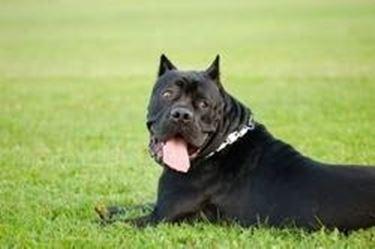 Addestramento cane corso