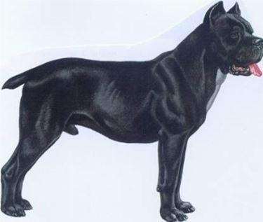 Razza cane corso