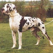 alano cucciolo