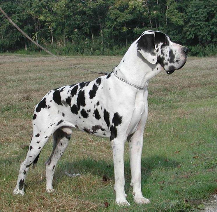 Allevamento alani cani taglia gigante allevamento for Recinto per cani taglia grande