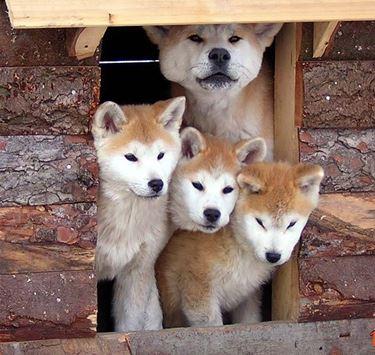 Cuccioli di Akita