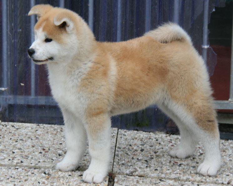 Akita inu cuccioli cani taglia grande piccoli