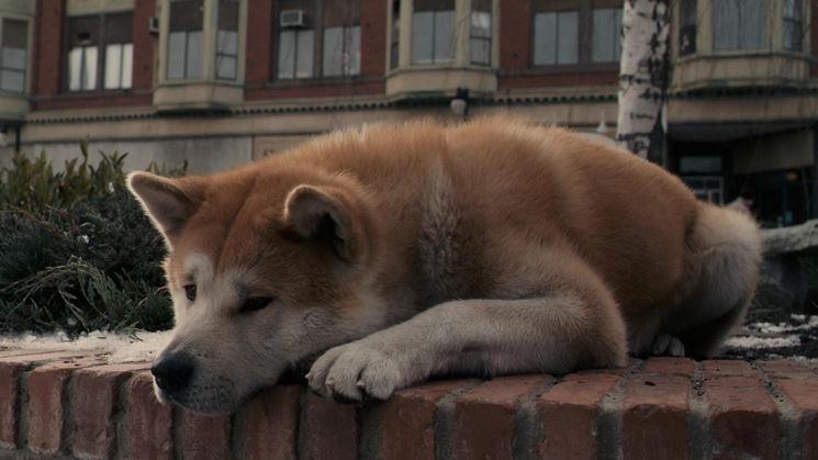 Akita inu triste