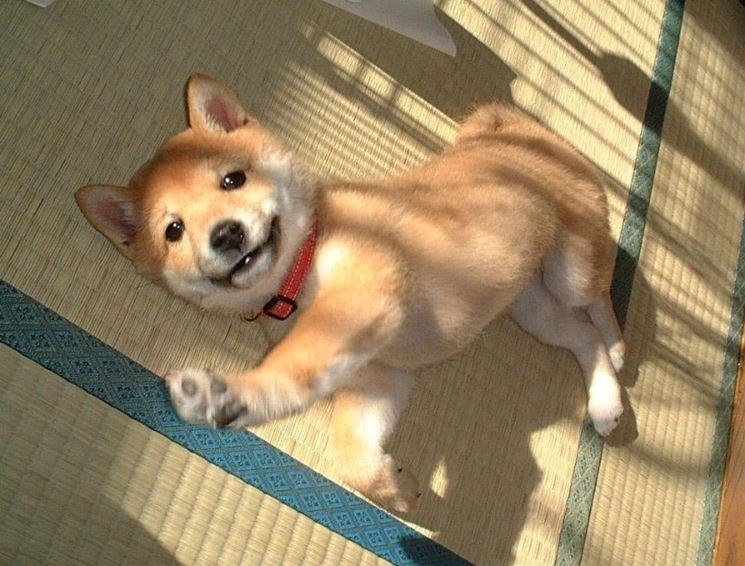 Cucciolo di akita che gioca